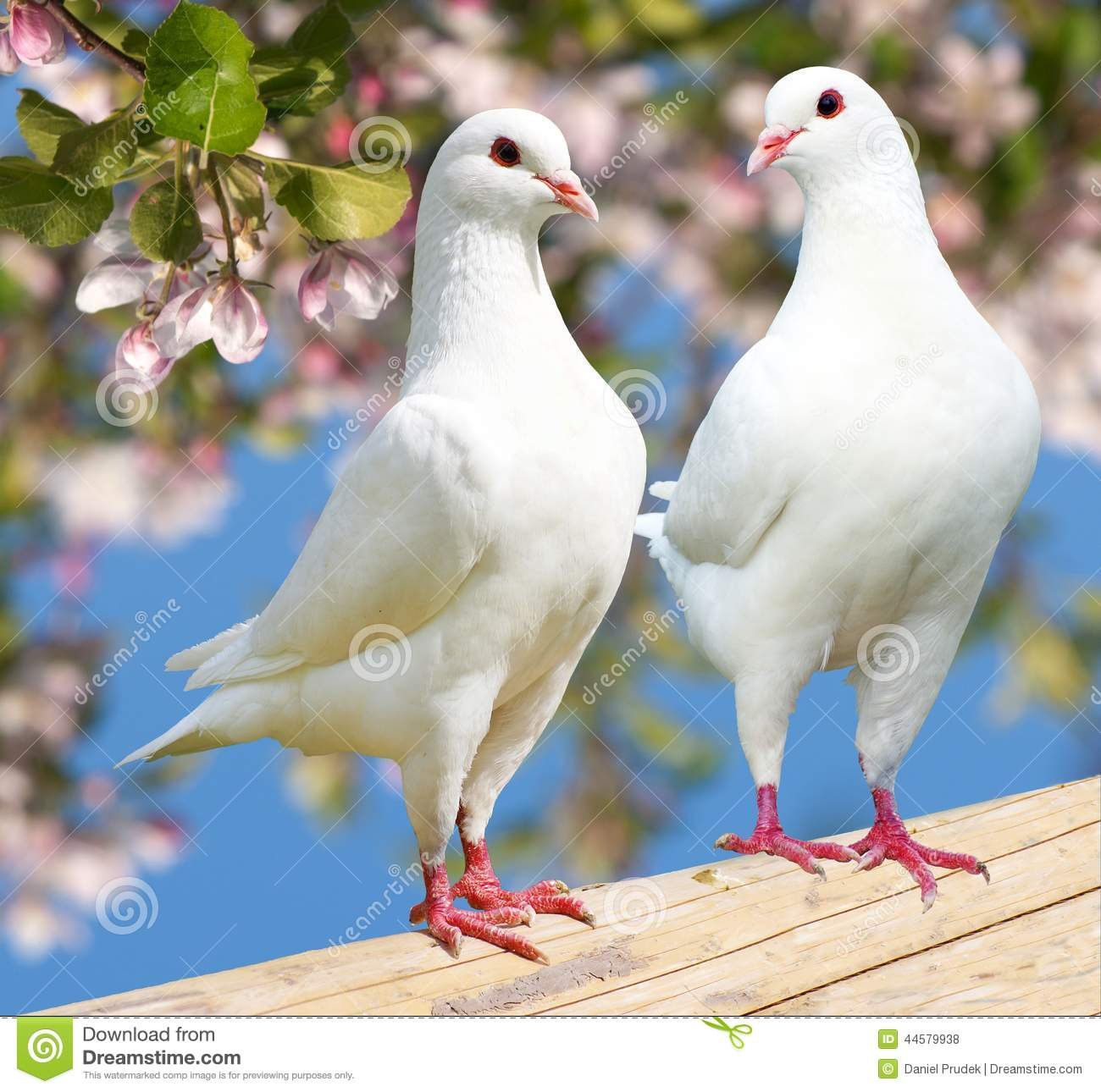 white pigeon guys Do i need quality white homing pigeons to start a release business - im trying to start my own pigeon/doves release, do i really need quality white homing birds and is there anyone in.