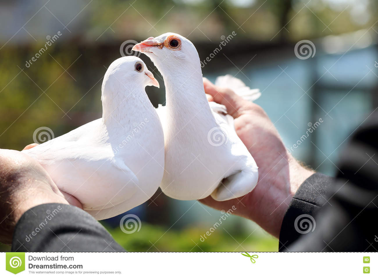 Two white pigeons in the hands of breeders