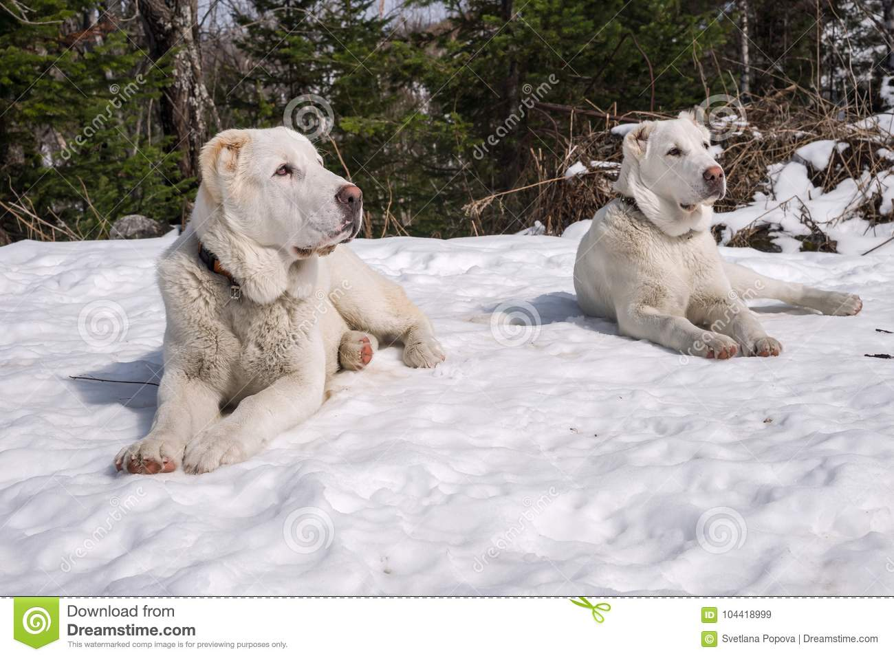 Two white puppies lie on the snow and look in one direction.