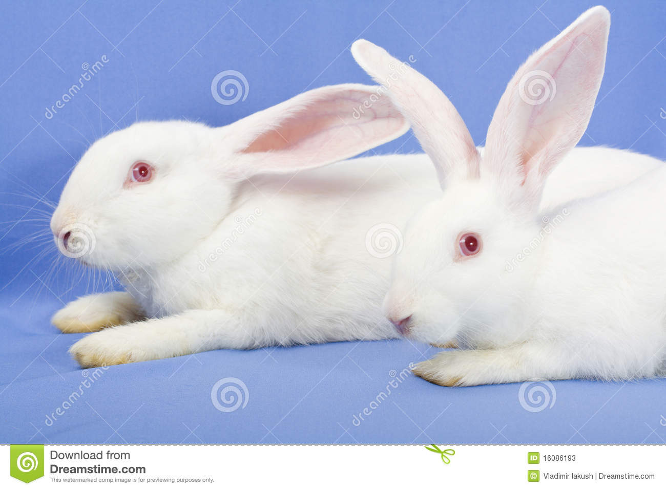 Two White Rabbits Stock Image Image Of Symbol Colorful 16086193
