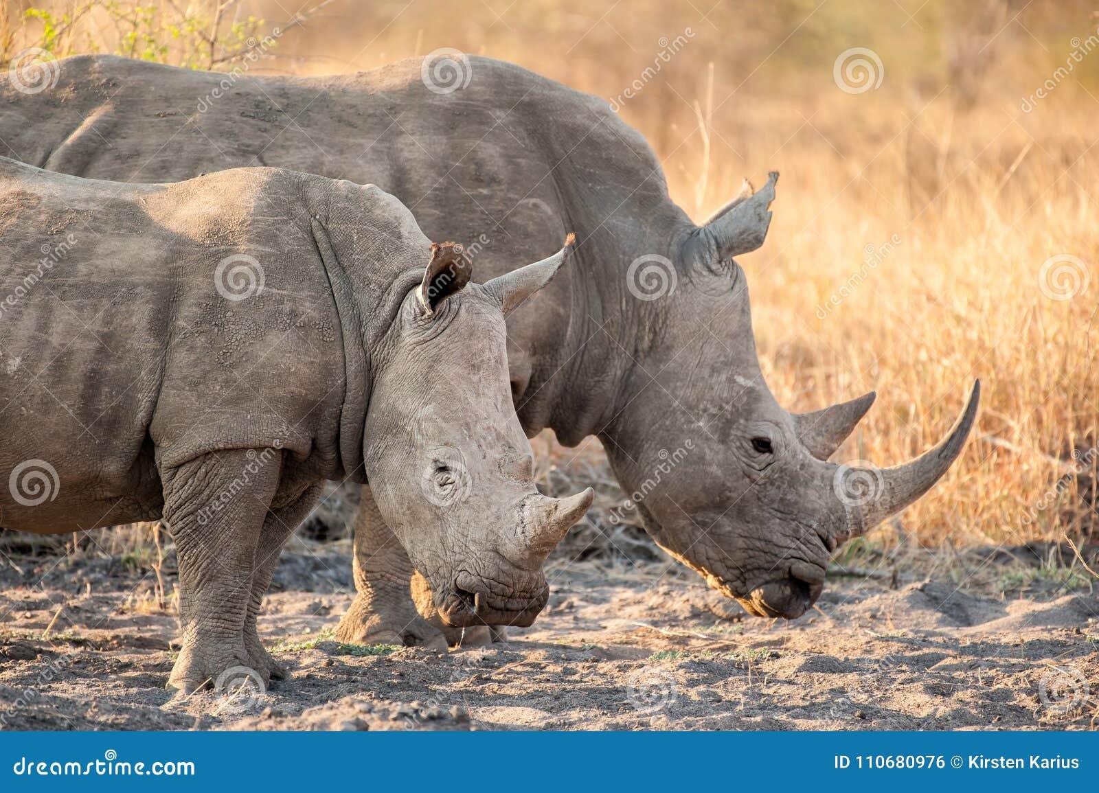 Two White rhinoceros Ceratotherium simum