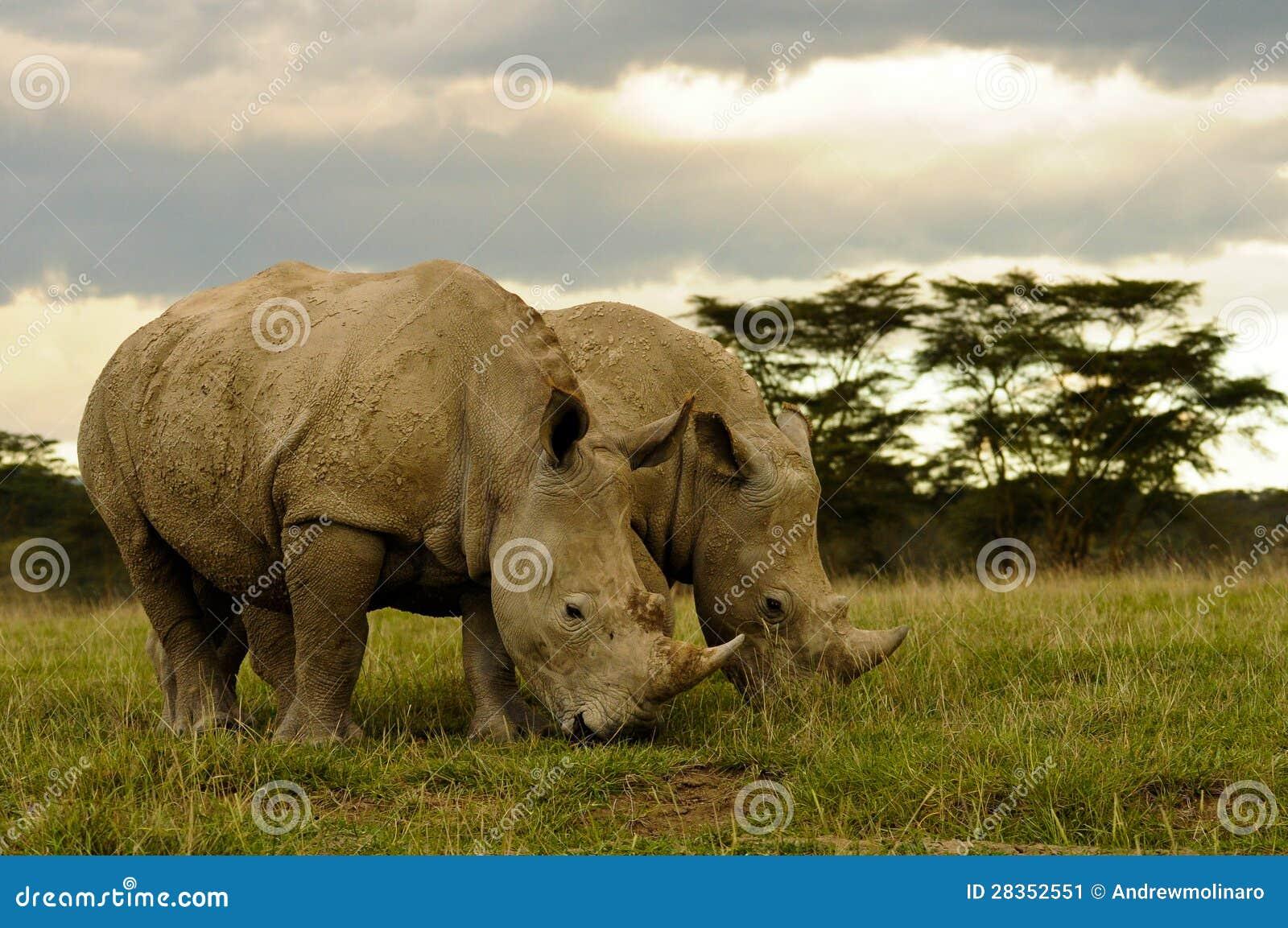 Two White Rhinos Grazing