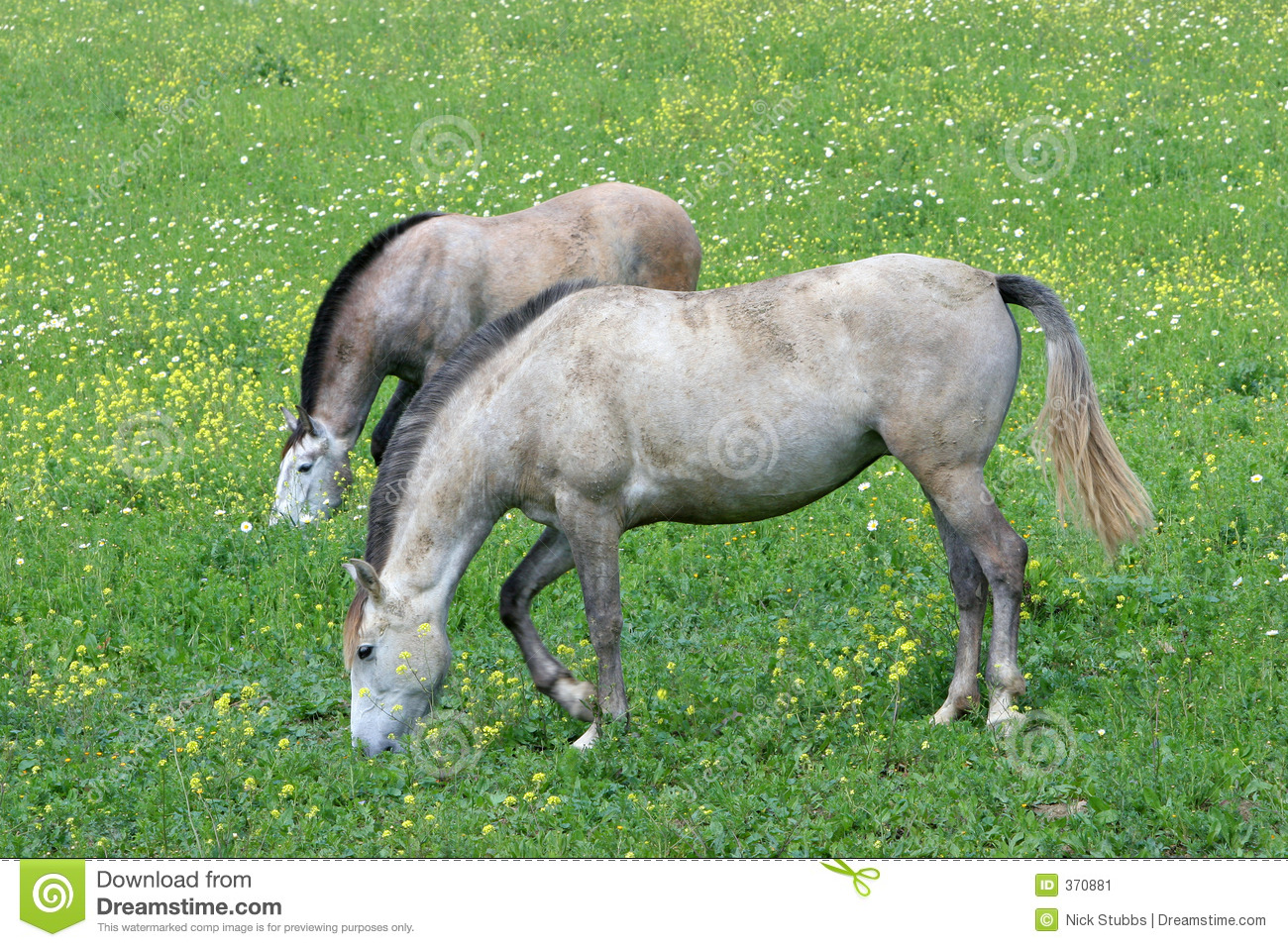 Two white Spanish Andalucian horses standing in a field