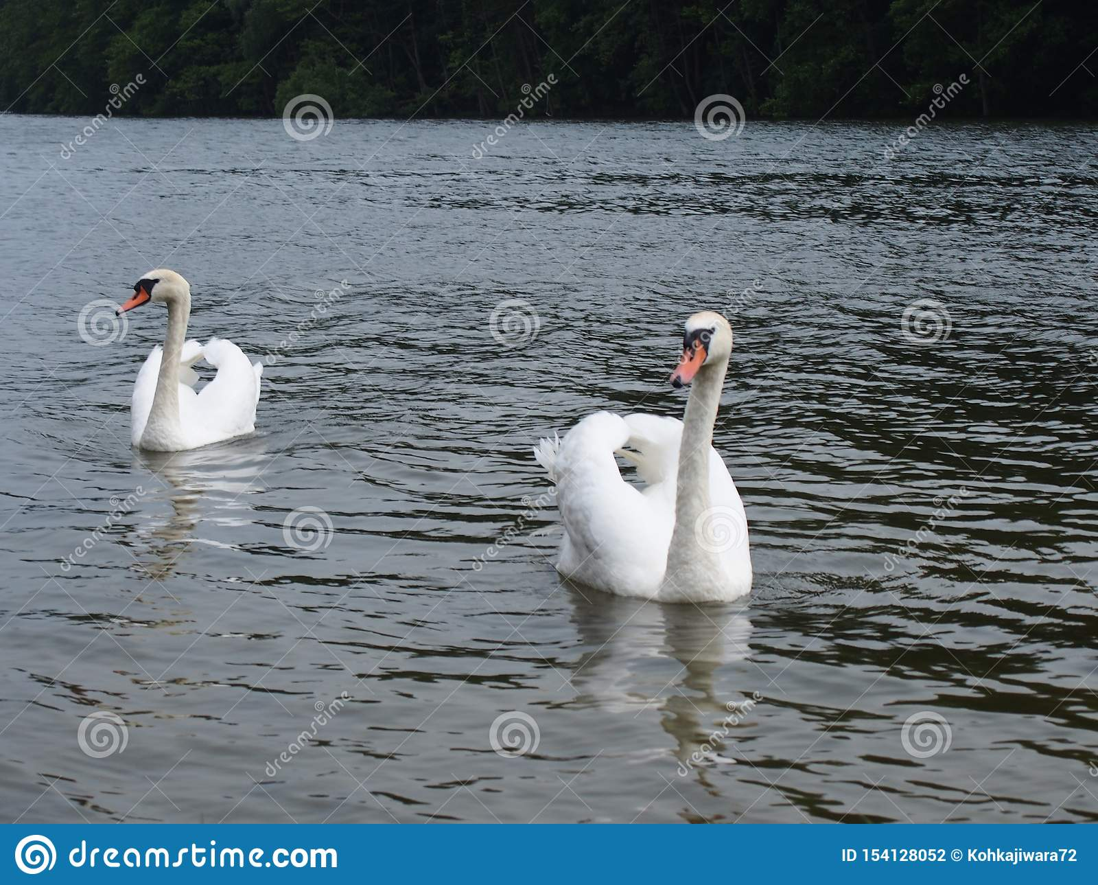 Two white swans in a lake Szczedin Poland 2013