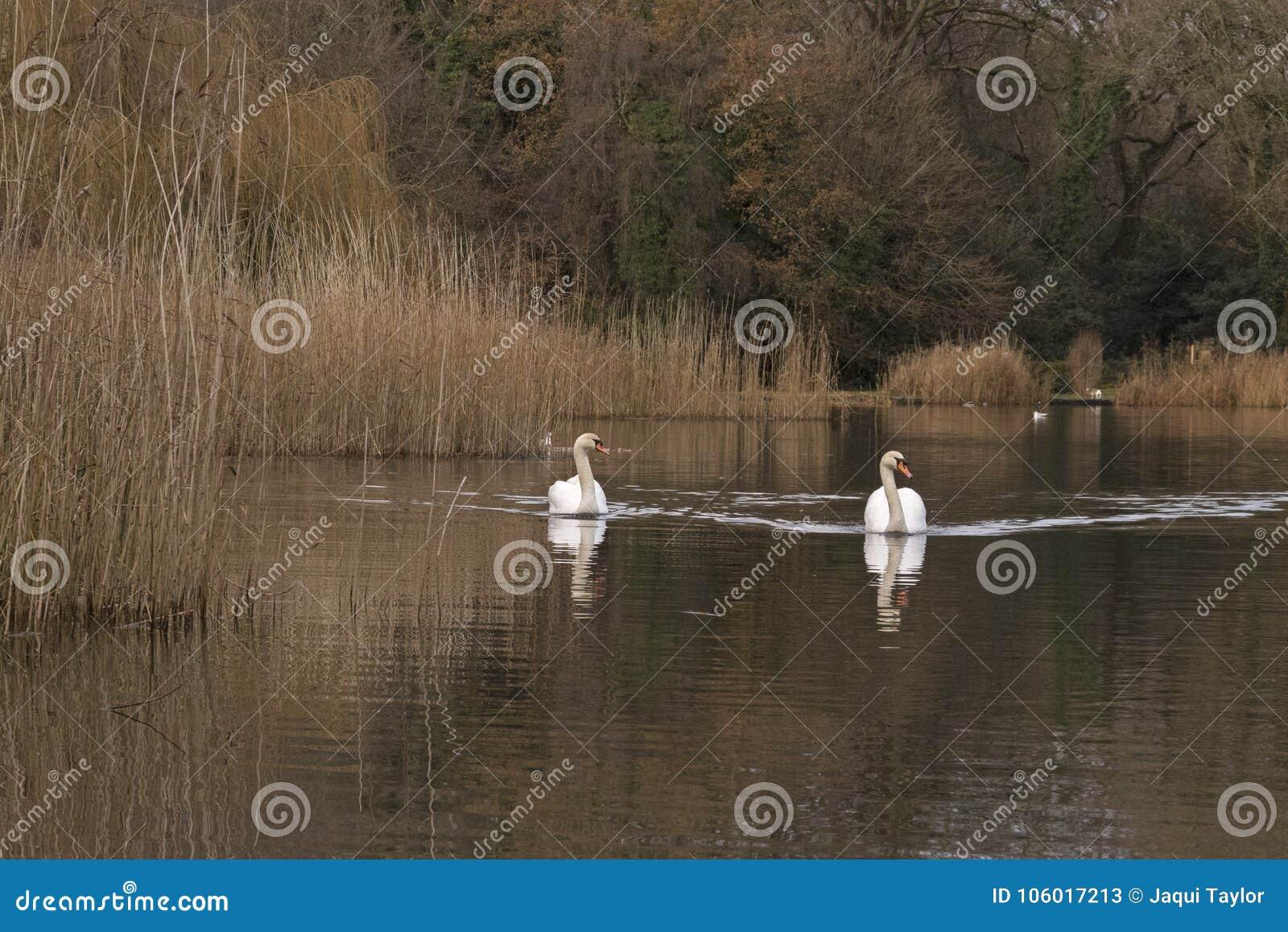 Two white swans on the Ornamental Pond, Southampton Common