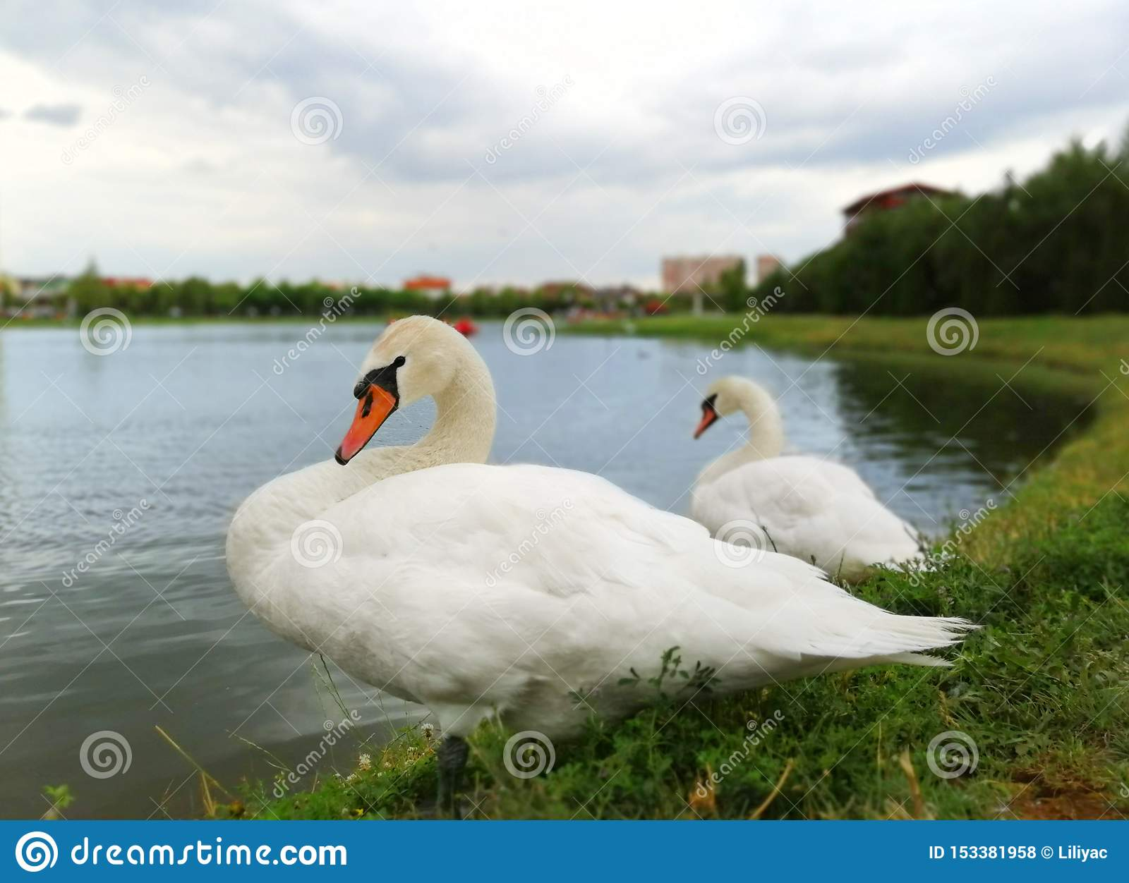 Two white swans on the shore of the pond