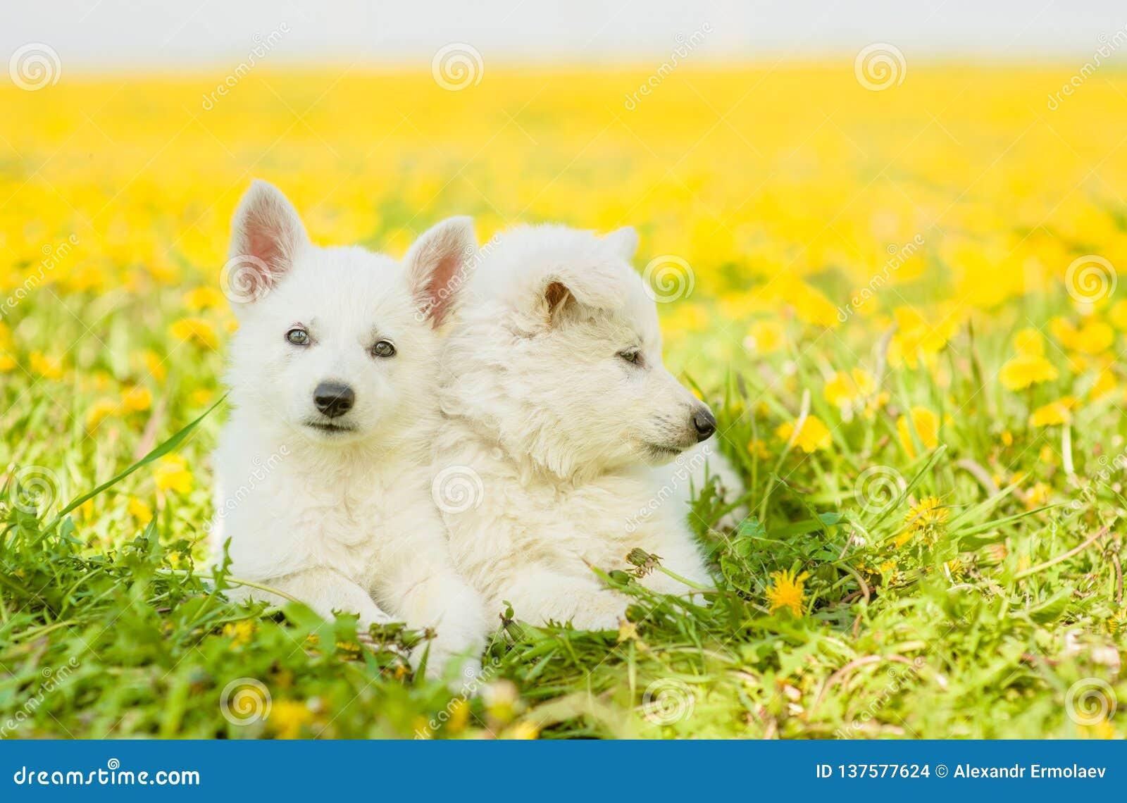 Two White Swiss Shepherd`s puppies lying on dandelion field together