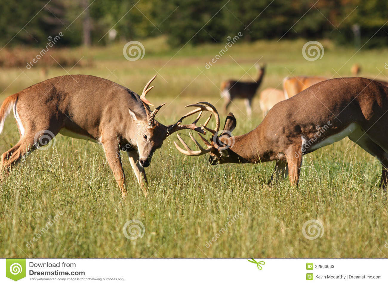 Two whitetail deer bucks fighting in an autumn scene from northern ...