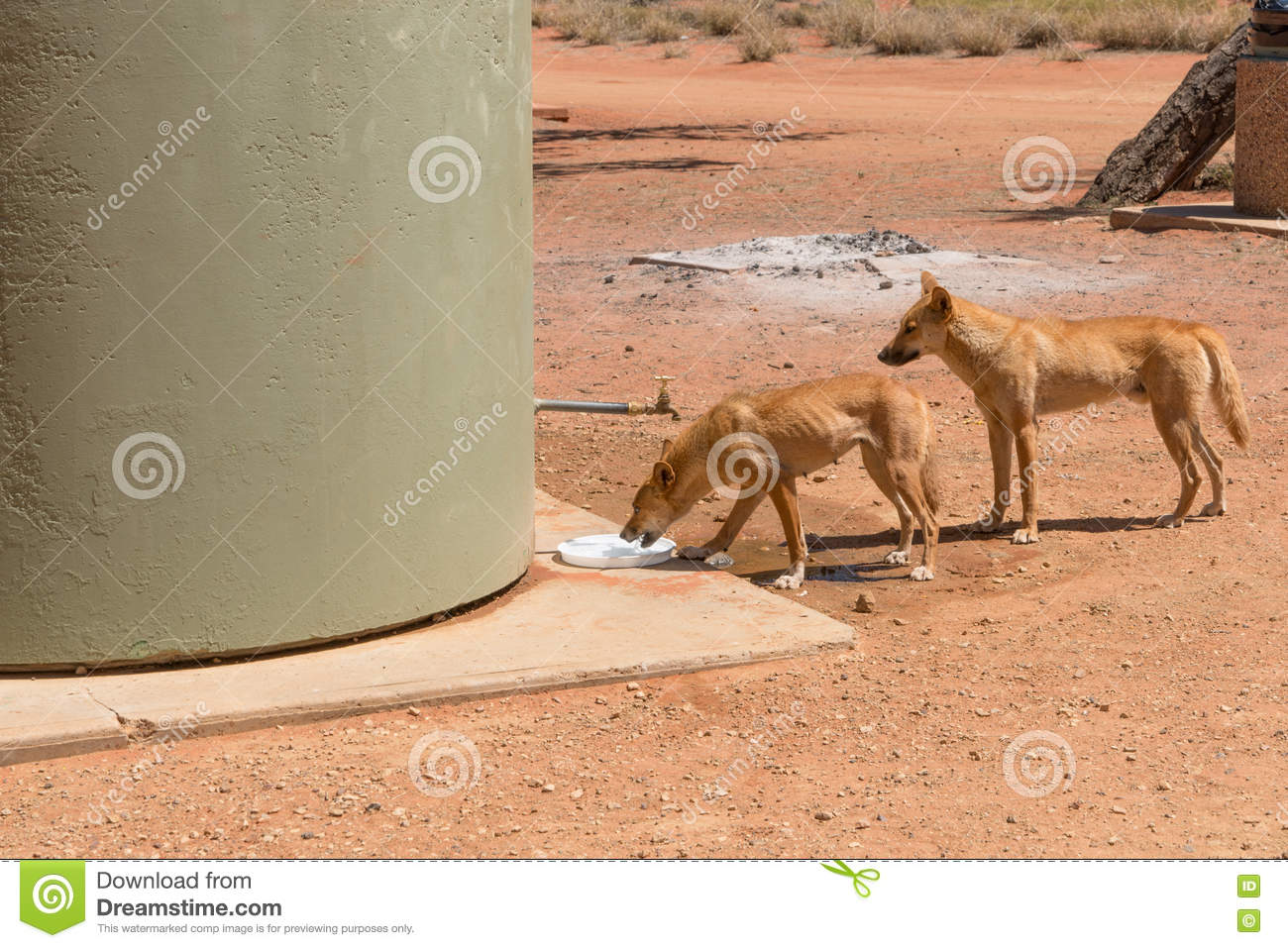 Download Two Wild Dingos Drinking Water At Camp Ground Stock Photo - Image of canis, free: 79855046