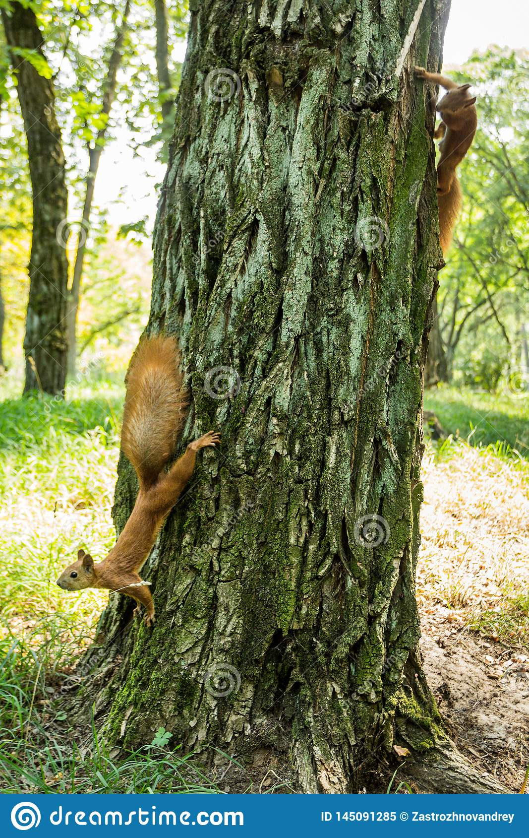 Two wild red-headed squirrels on a tree in a forest