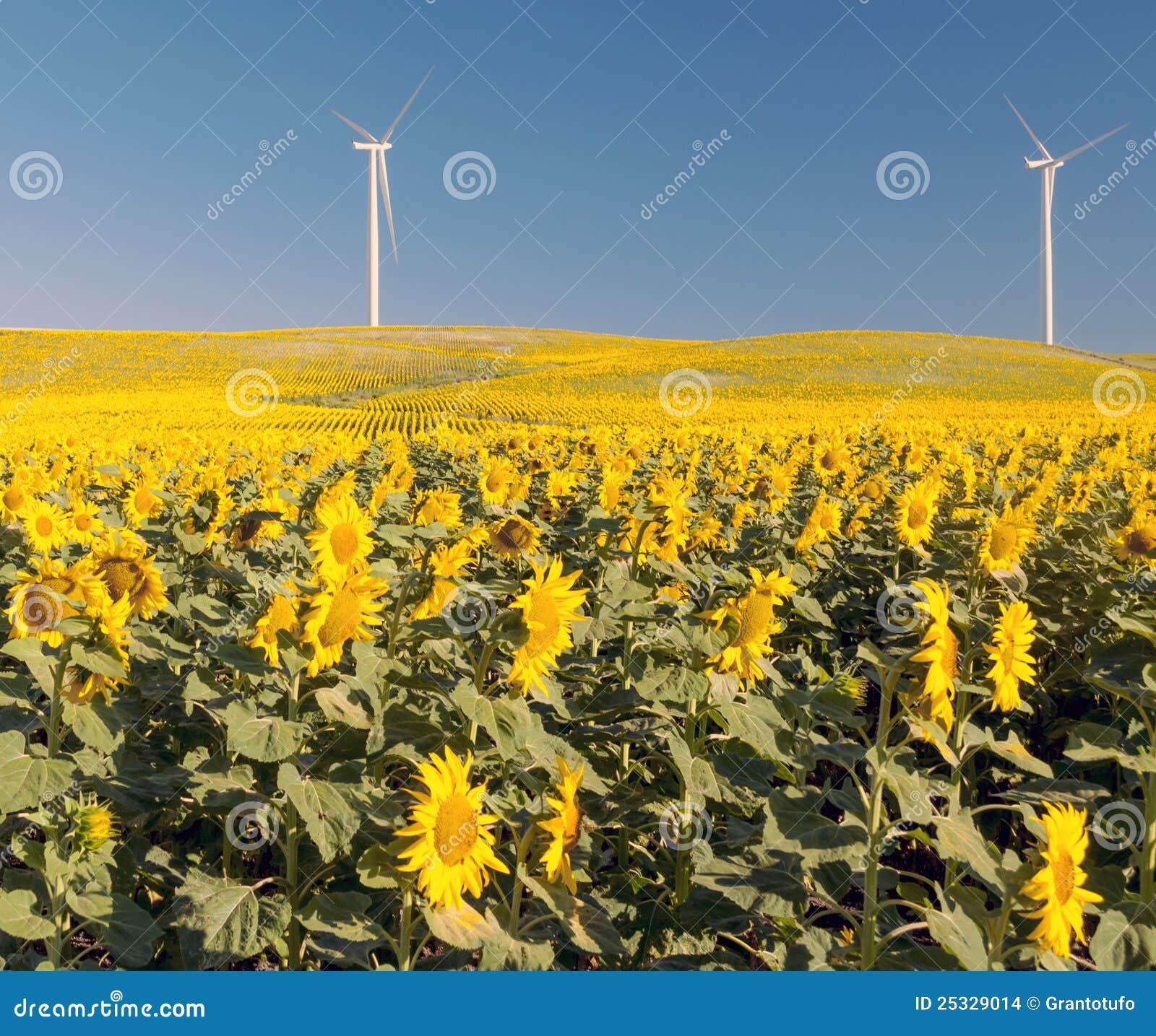 sunflower fields 2 by - photo #45
