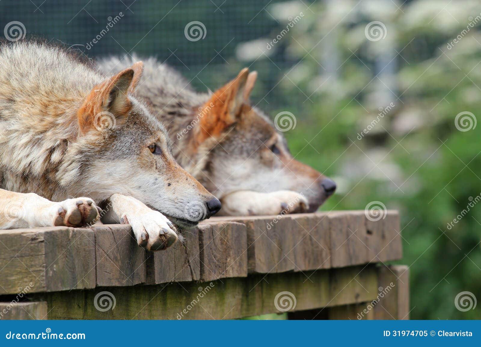 Wolf lying on back - photo#27