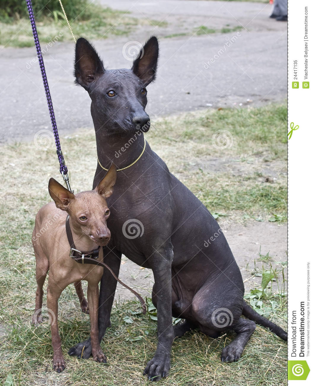 Two Xolo dogs stock image  Image of mexican, atztec