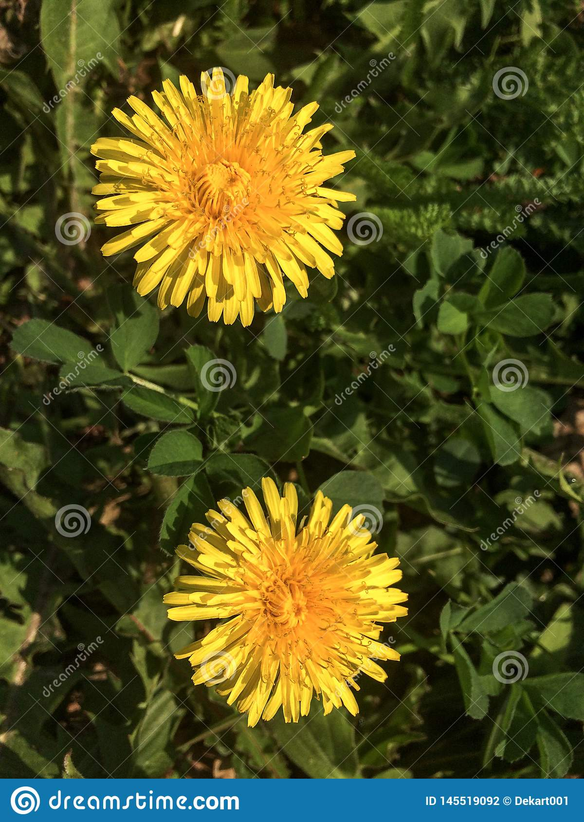 Two yellow blooming dandelions in a green lawn