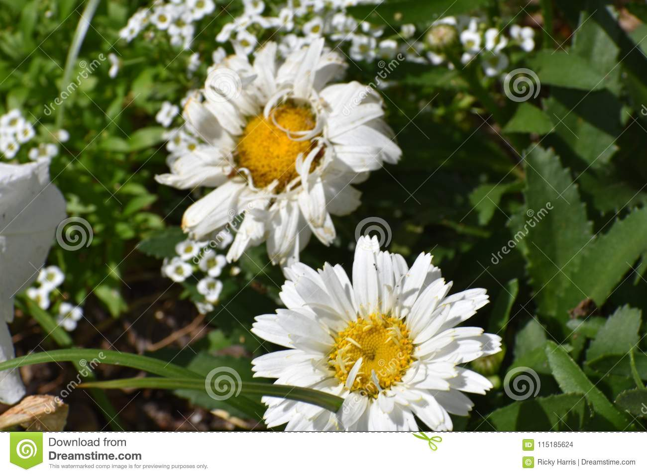 Two yellow centered white flowers in festival stock photo image of download two yellow centered white flowers in festival stock photo image of stem clusters mightylinksfo