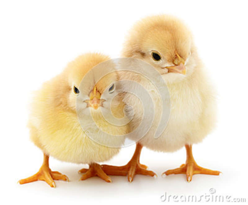 Two yellow chickens.