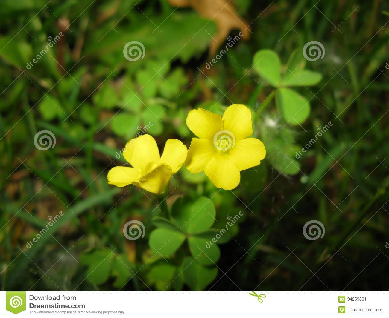 Two Yellow Clover Flowers Stock Image Image Of Blooming 94259801