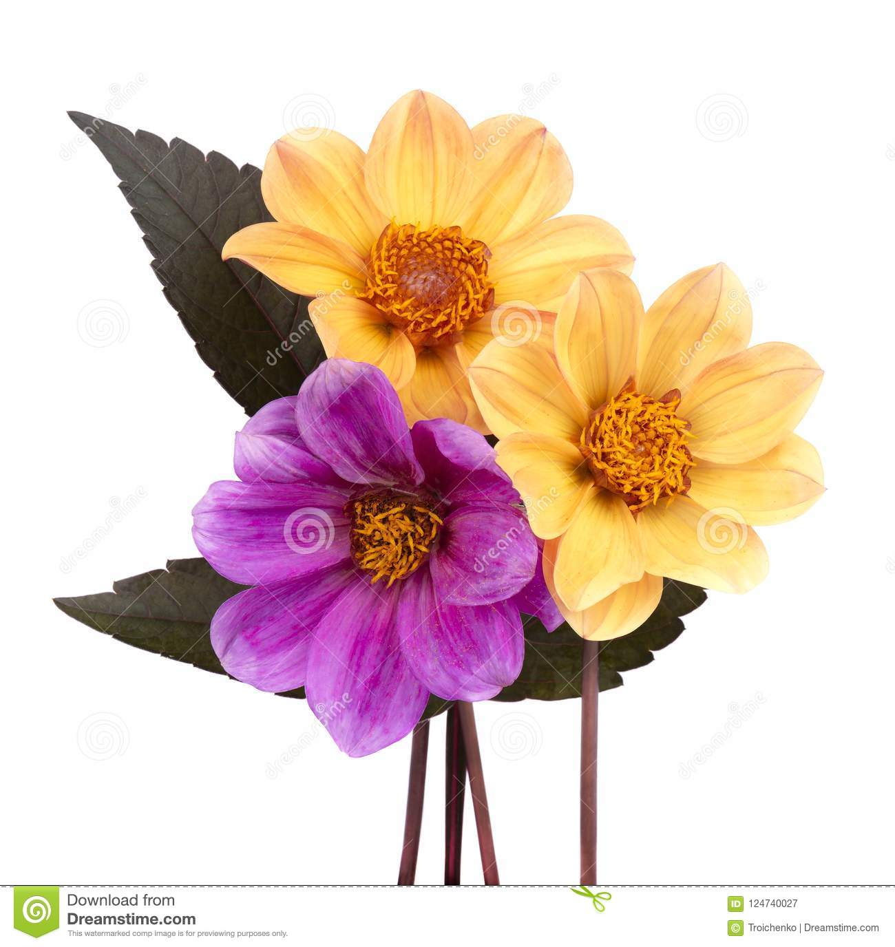 Two yellow and one purple dahlia flower with leaves isolated on download two yellow and one purple dahlia flower with leaves isolated on white background stock image izmirmasajfo