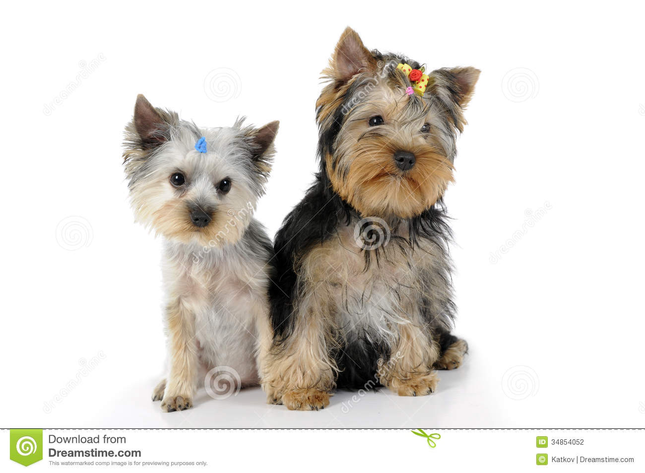 Two Yorkshire Terrier Puppies Isolated White Background