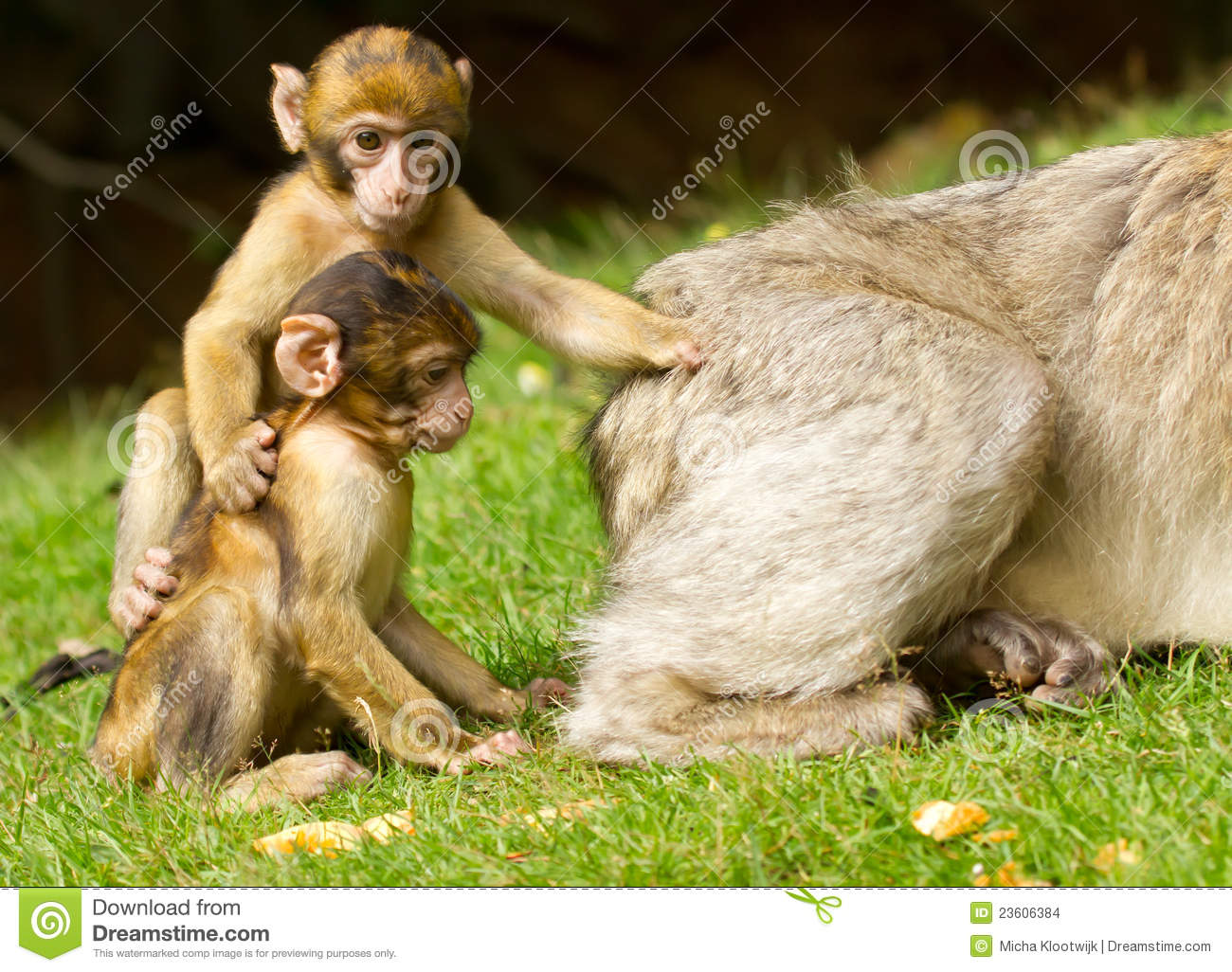 Two young apes
