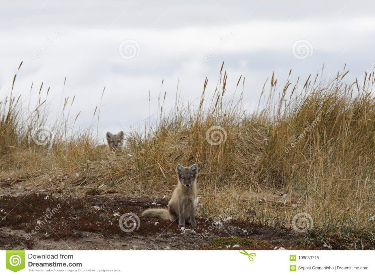Two Young Arctic Foxes, Vulpes Lagopus, In Fall Colours With