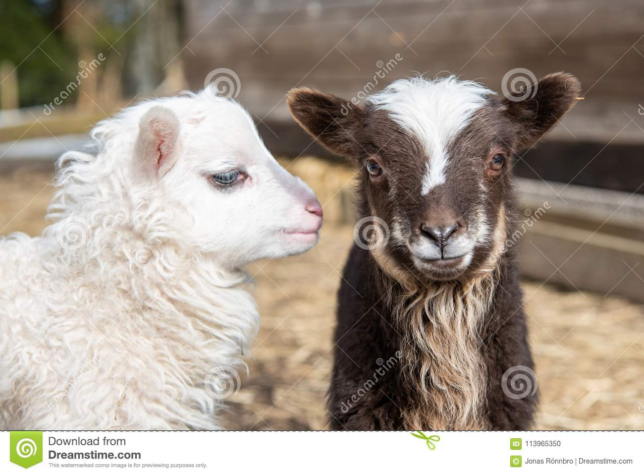Two young and cute little lambs standing together