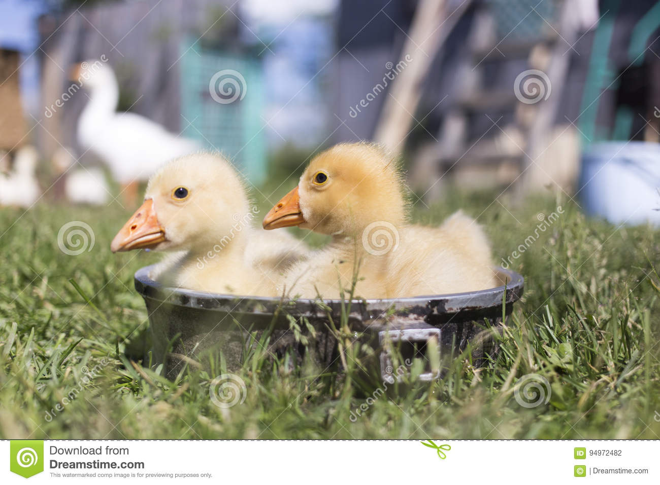 Two young goose bathe in a bowl in good weather in summer