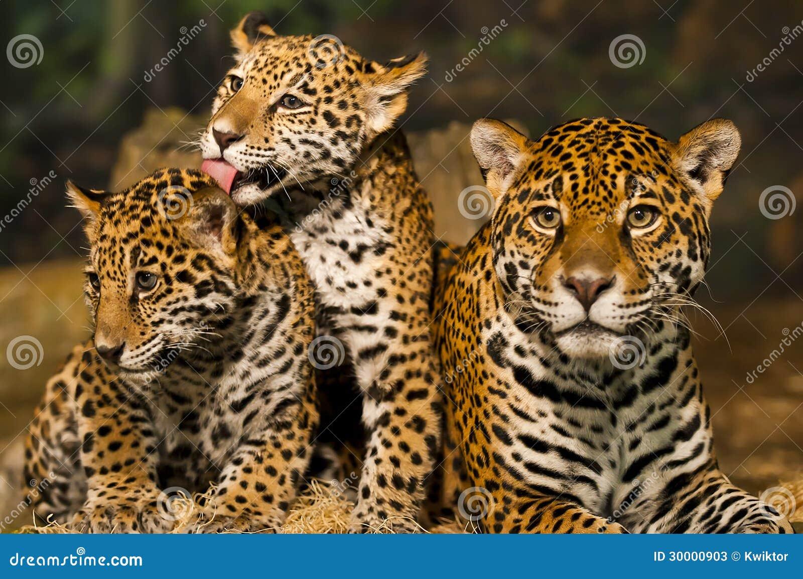 Jaguar Family Stock Photos - Image: 30000903 Leopard Cubs With Mother