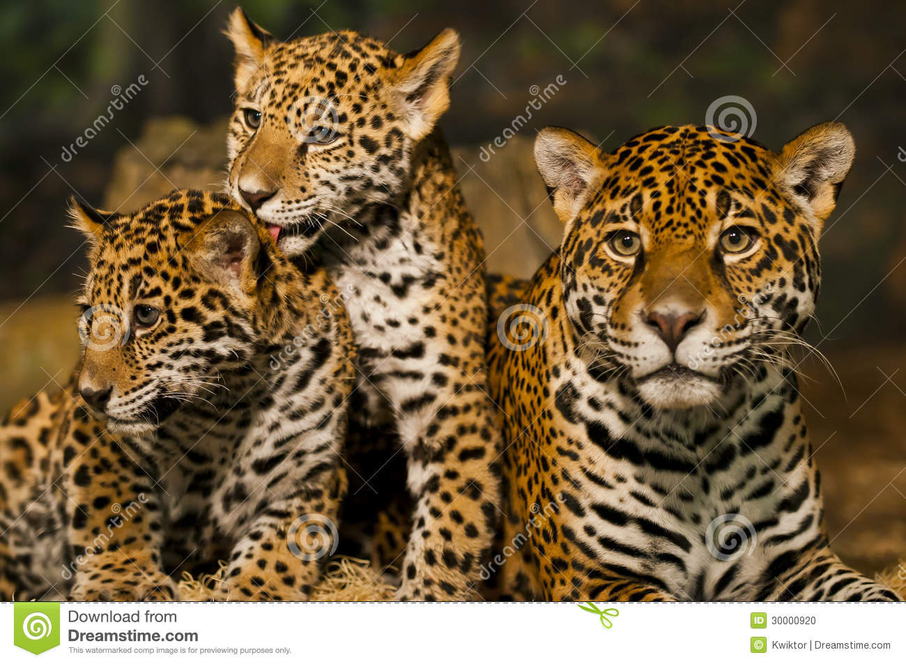Jaguar Family Stock Photo - Image: 30000920
