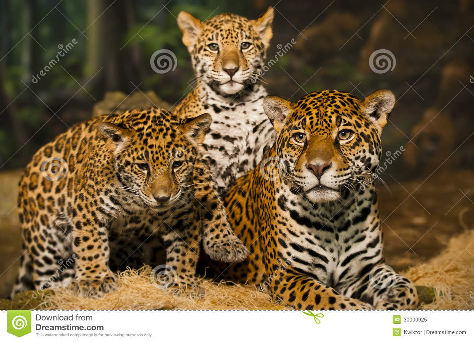 Jaguar Family Stock Image Image Of Front Eyes Feline