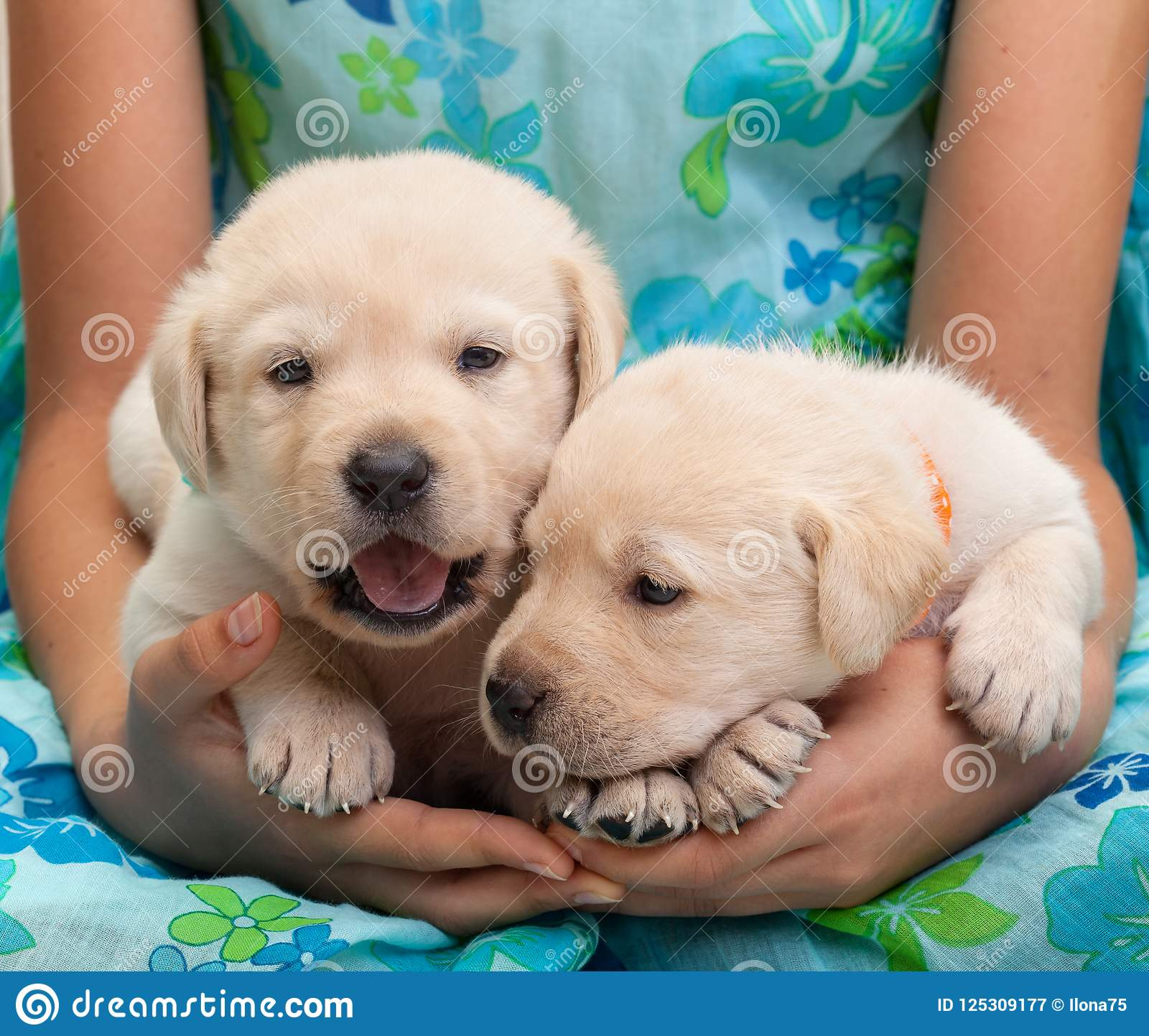 Two Young Labrador Puppies In Girl Hands Stock Image Image Of
