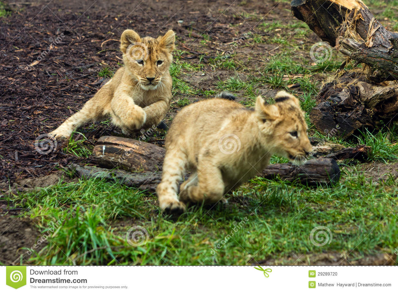 Two Young Lion Cubs Playing Stock Photo - Image: 29289720