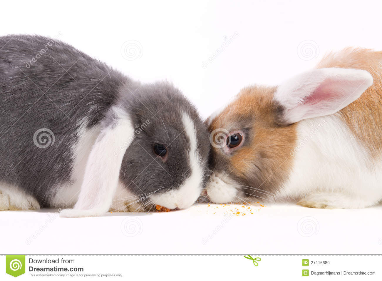 two young mini lop rabbits eating stock photo image 27116680. Black Bedroom Furniture Sets. Home Design Ideas