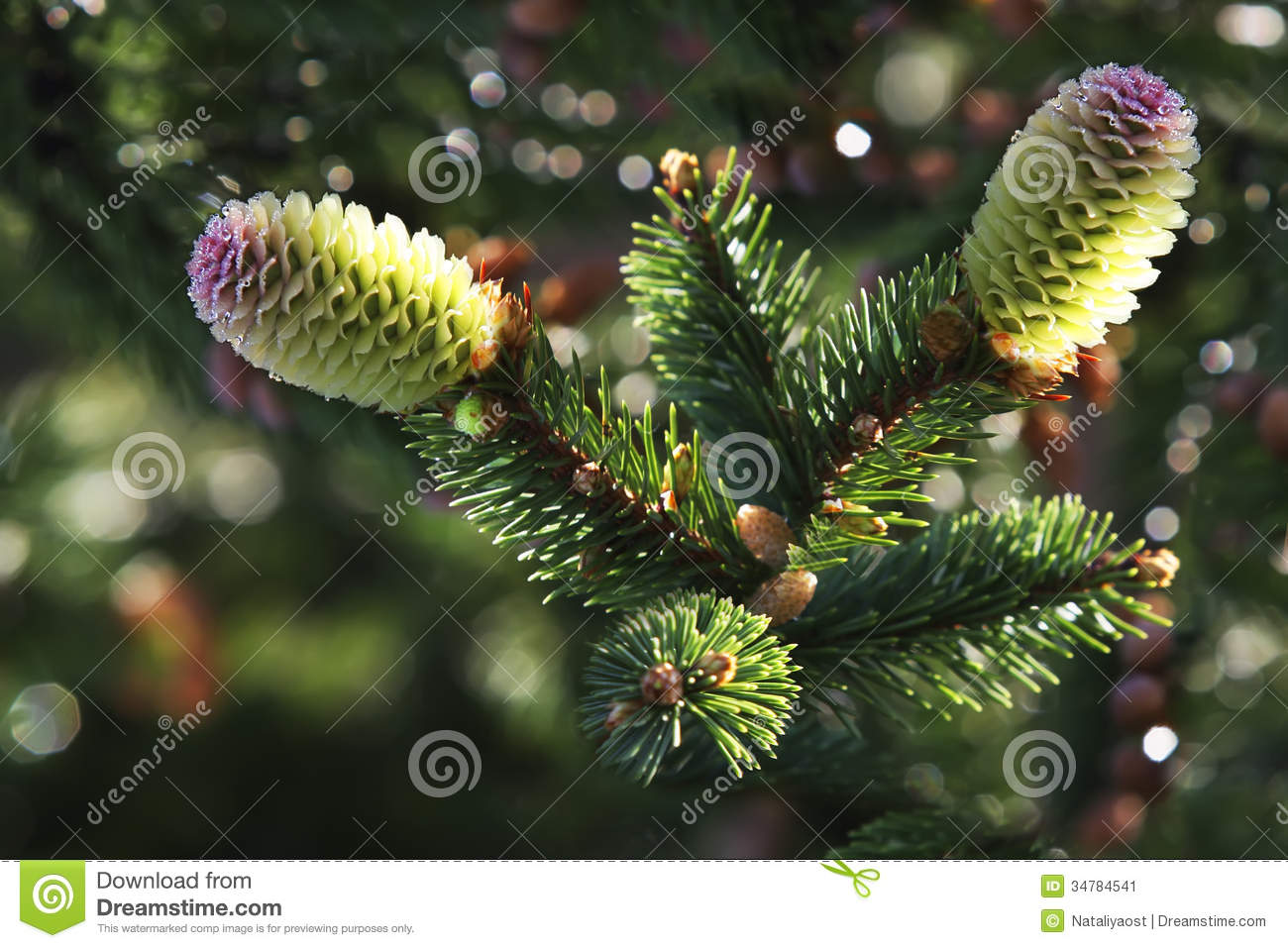 Two young pine cone christmas tree in water droplets stock for Large christmas pine cones