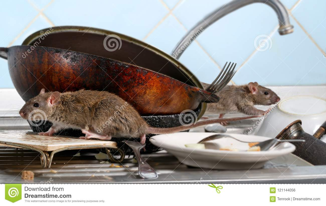 Two young rat climbs on dirty dishes in the kitchen sink. two old pans and crockery.