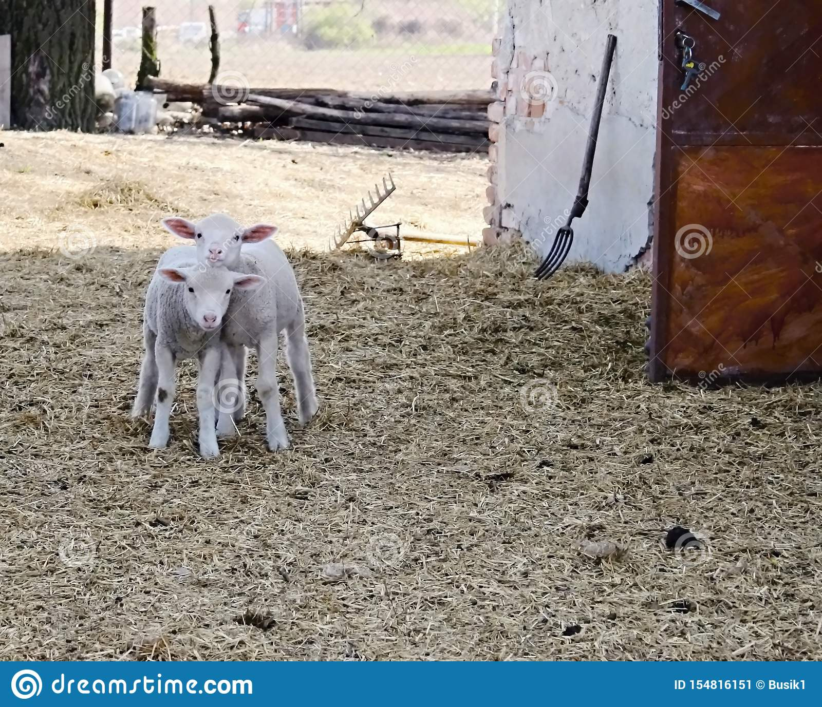 Two young sheep