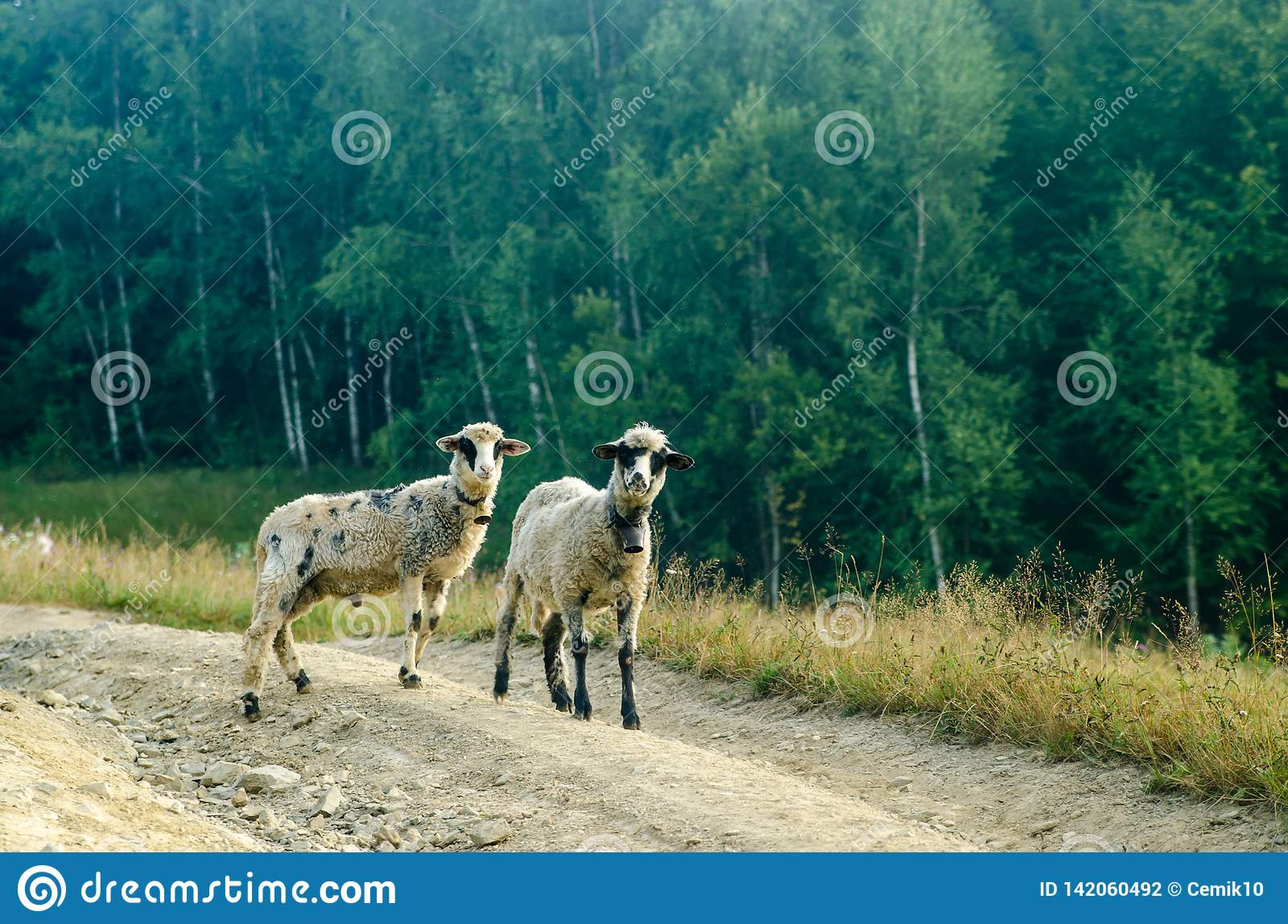 Two young sheep road