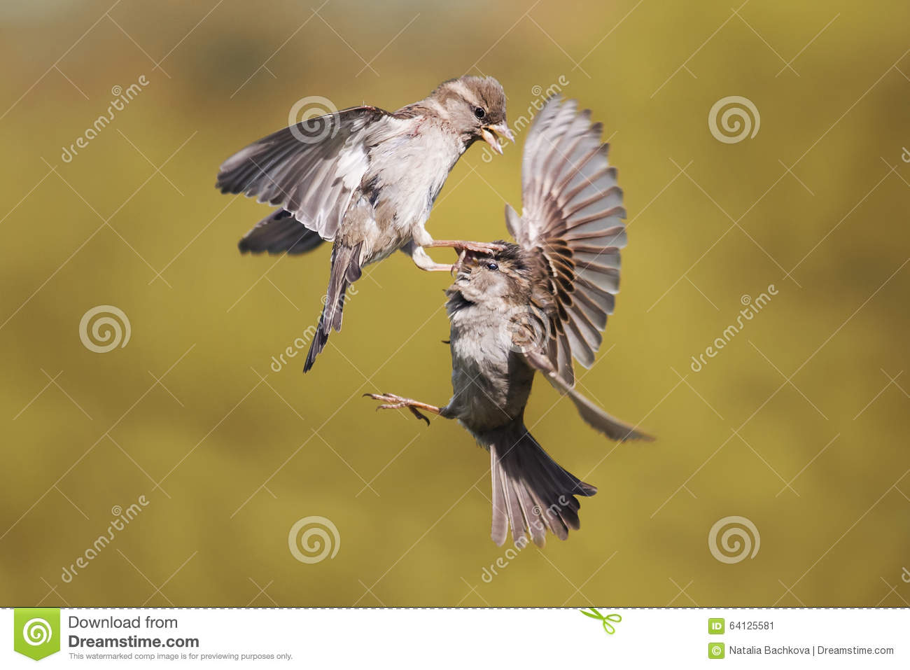 Two young Sparrow put up a fight