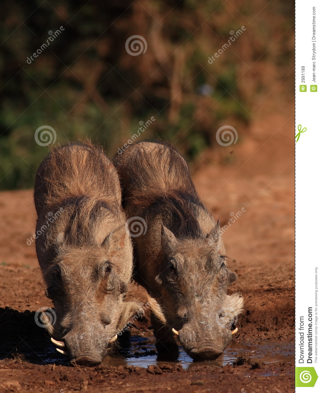 Two Young Warthogs