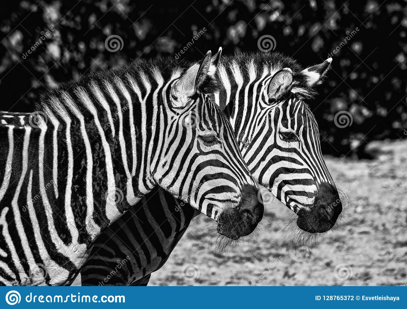 Two young zebras in the zoo safari animals zebras portrait close up black and white