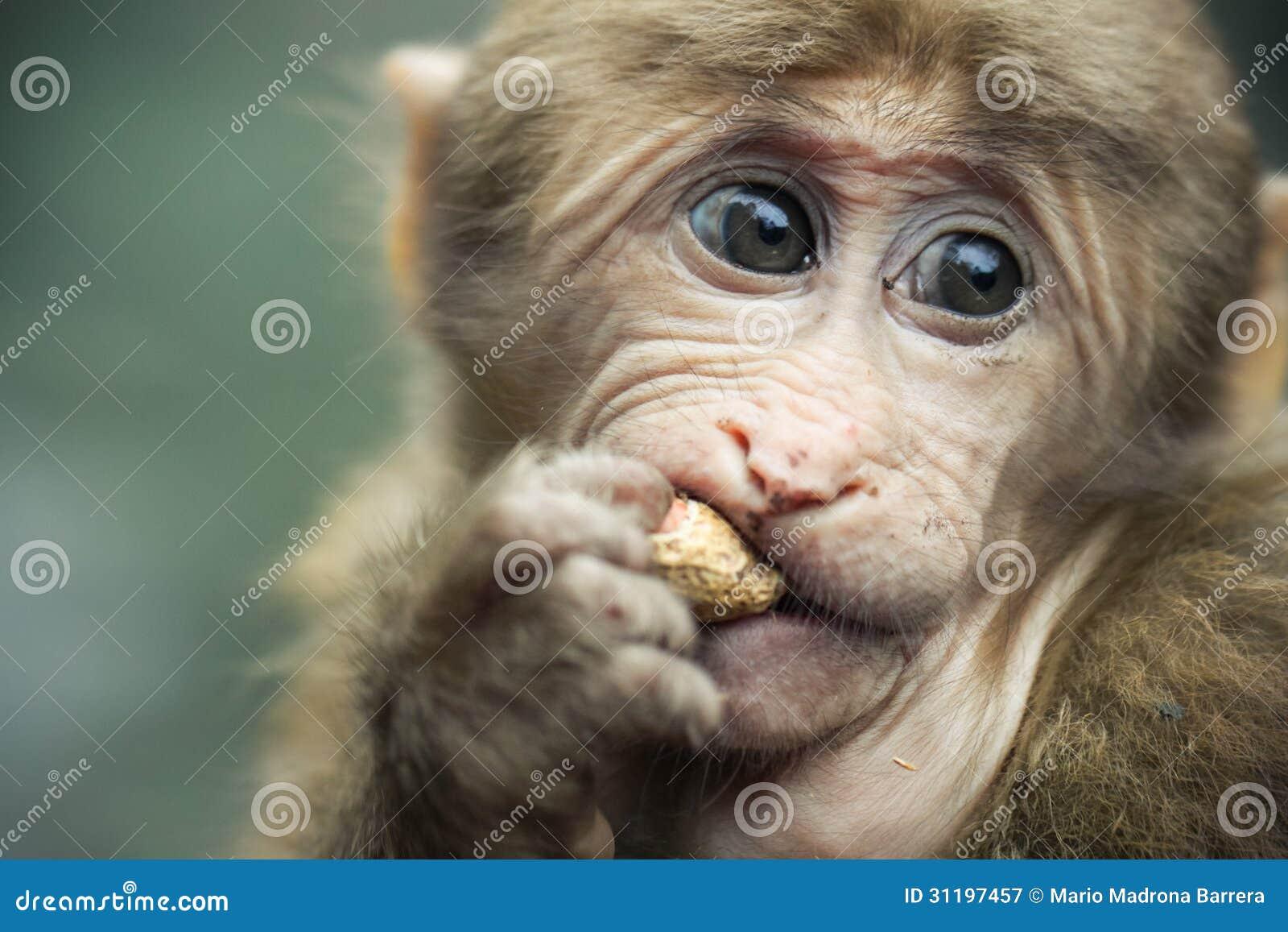 Tybetańczyk małpa
