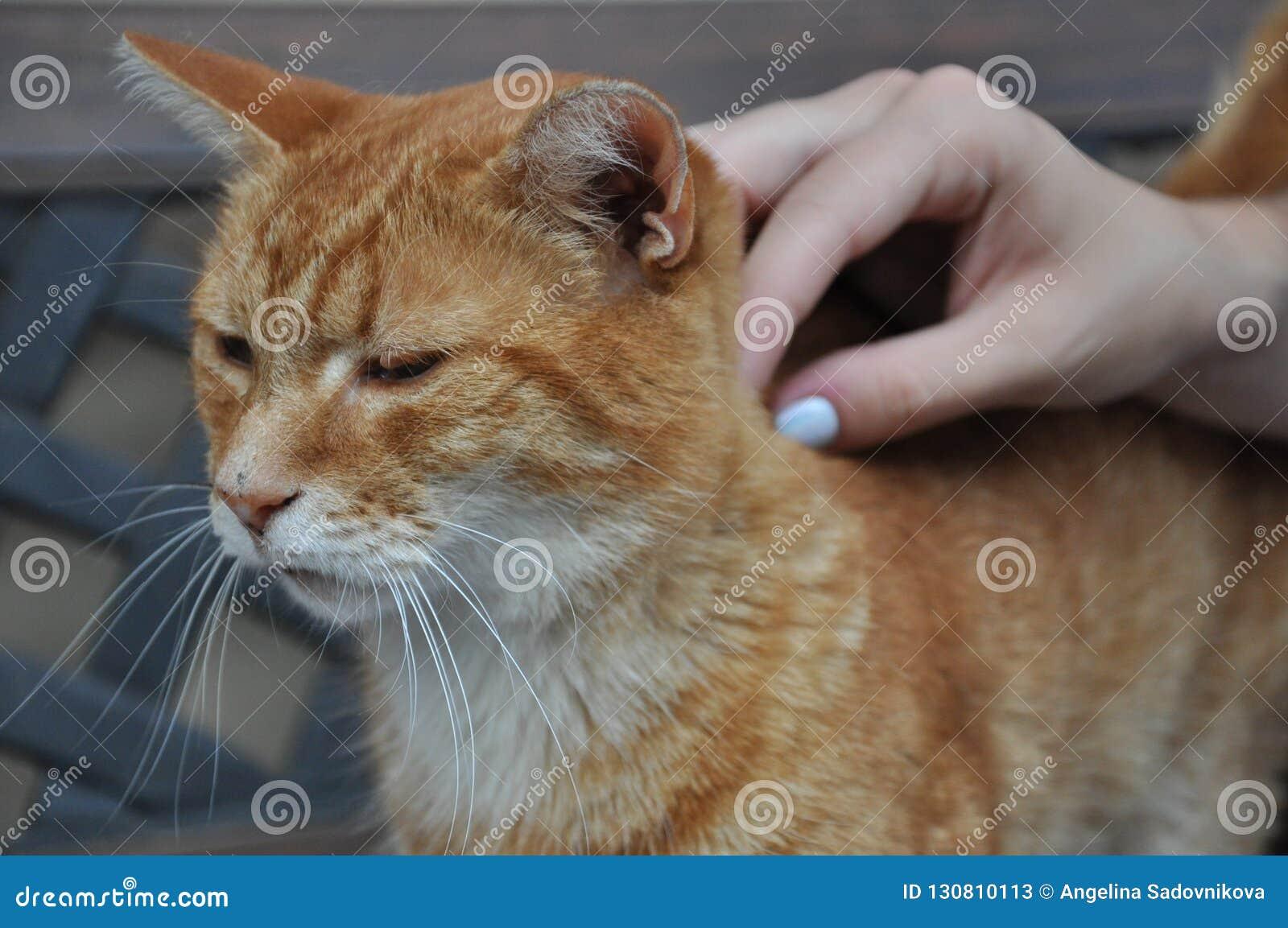Tycker om den röda katten för gården mänsklig smekning