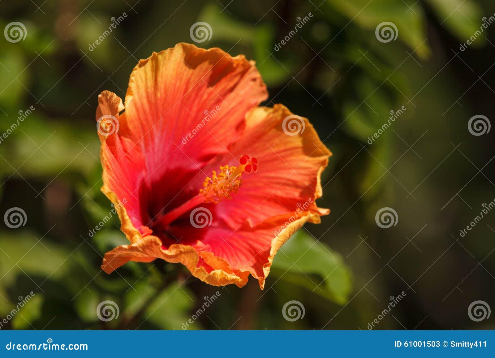 Tye Dye Colored Hibiscus Flower Blooms Stock Photo Image