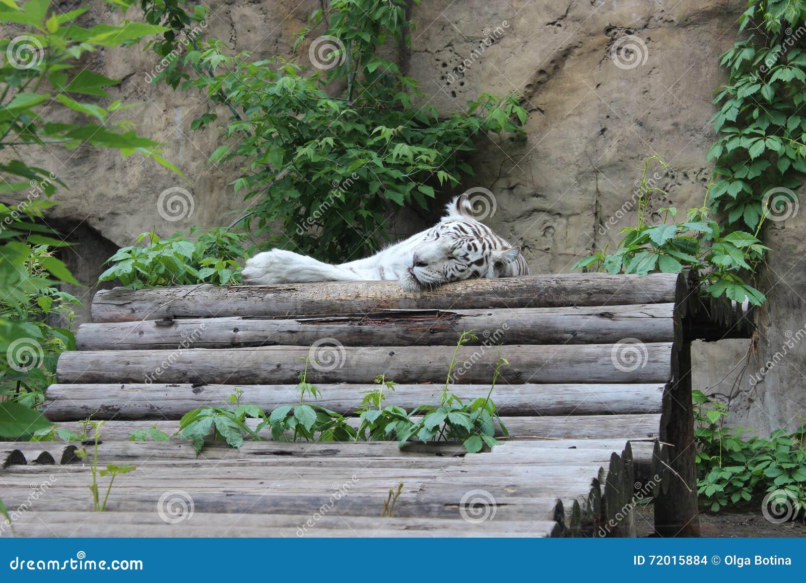 Tygrys śpi white