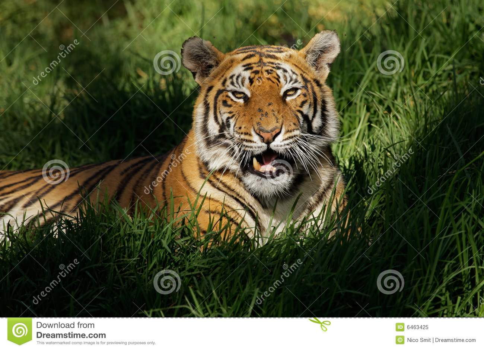 Tygrys bengal