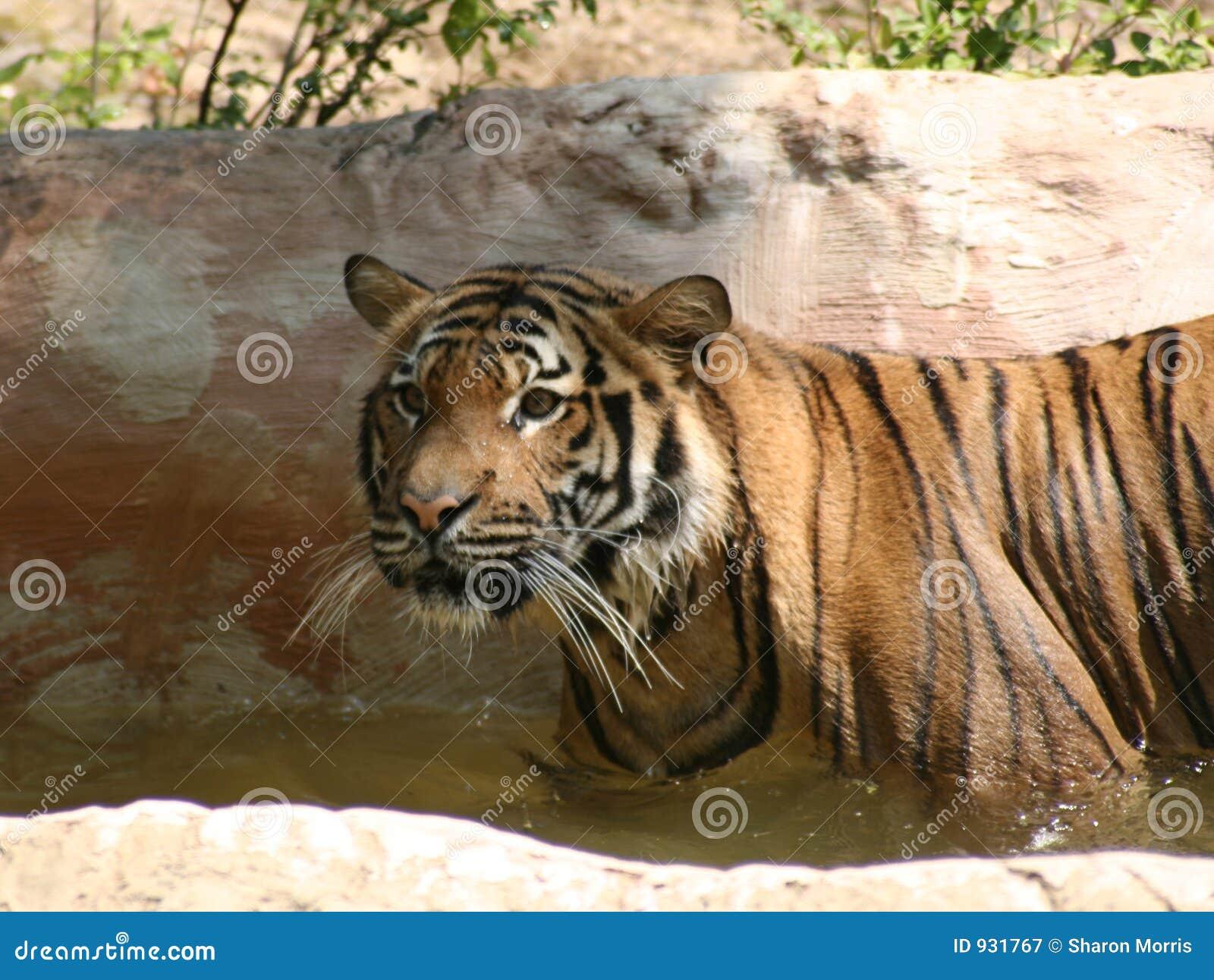 Tygrys bengel