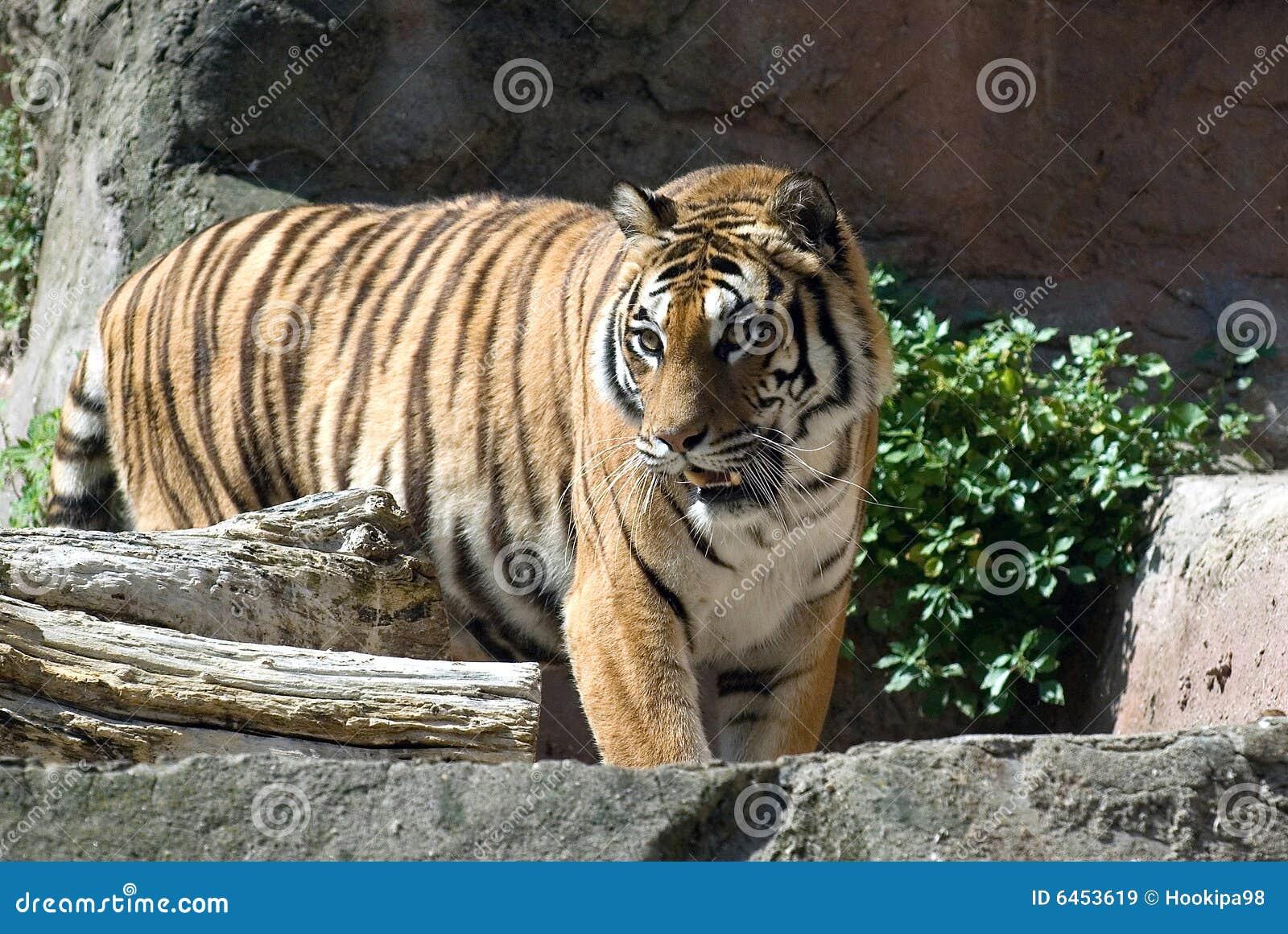 Tygrys do zoo