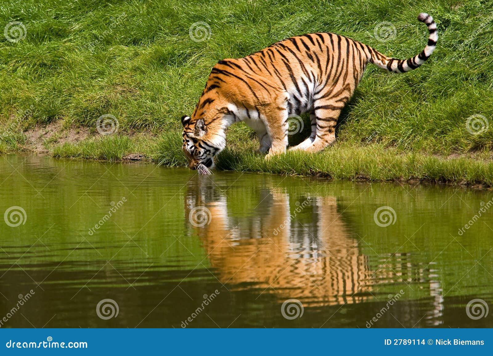 Tygrys drinkin