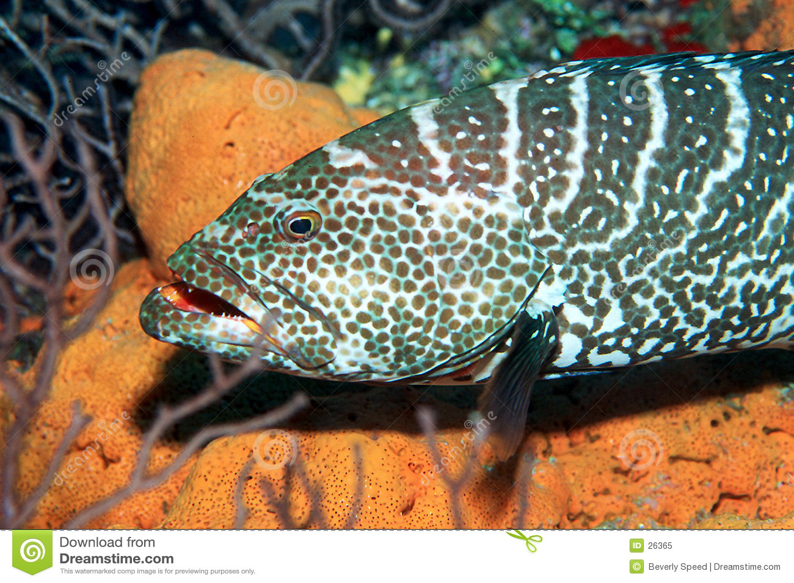 Tygrys grouper