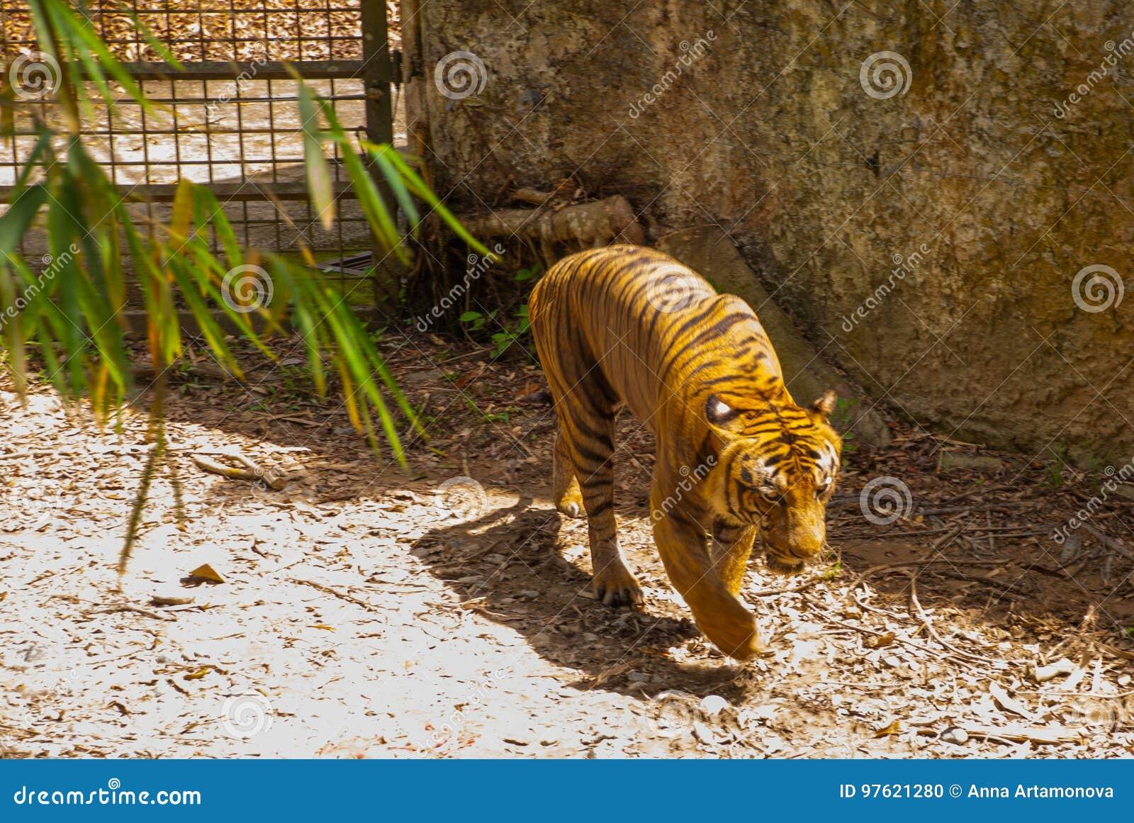 Tygrys jest królewiątkiem dżungla Tygrys tropi w forestTiger w zoo